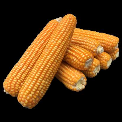 F1 Hybrid Maize